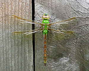 Green Darner Female