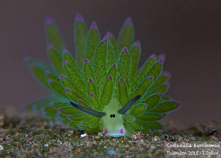 a nudibranch, Costasiella kuroshimae