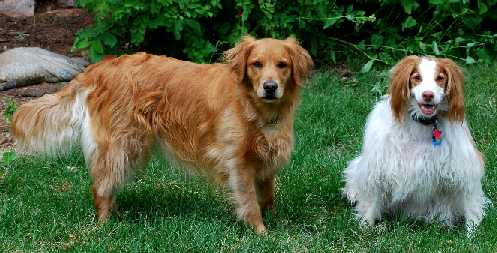 Golden Retriever and American Brittany