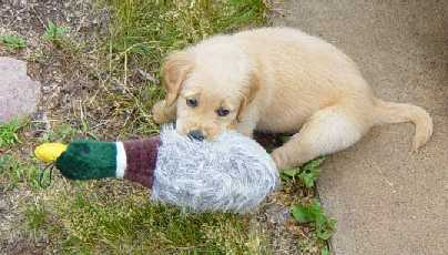 Golden Retriever puppy with toy duck